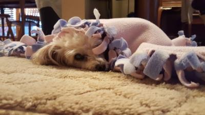 Cute doggie peeking out of blanket