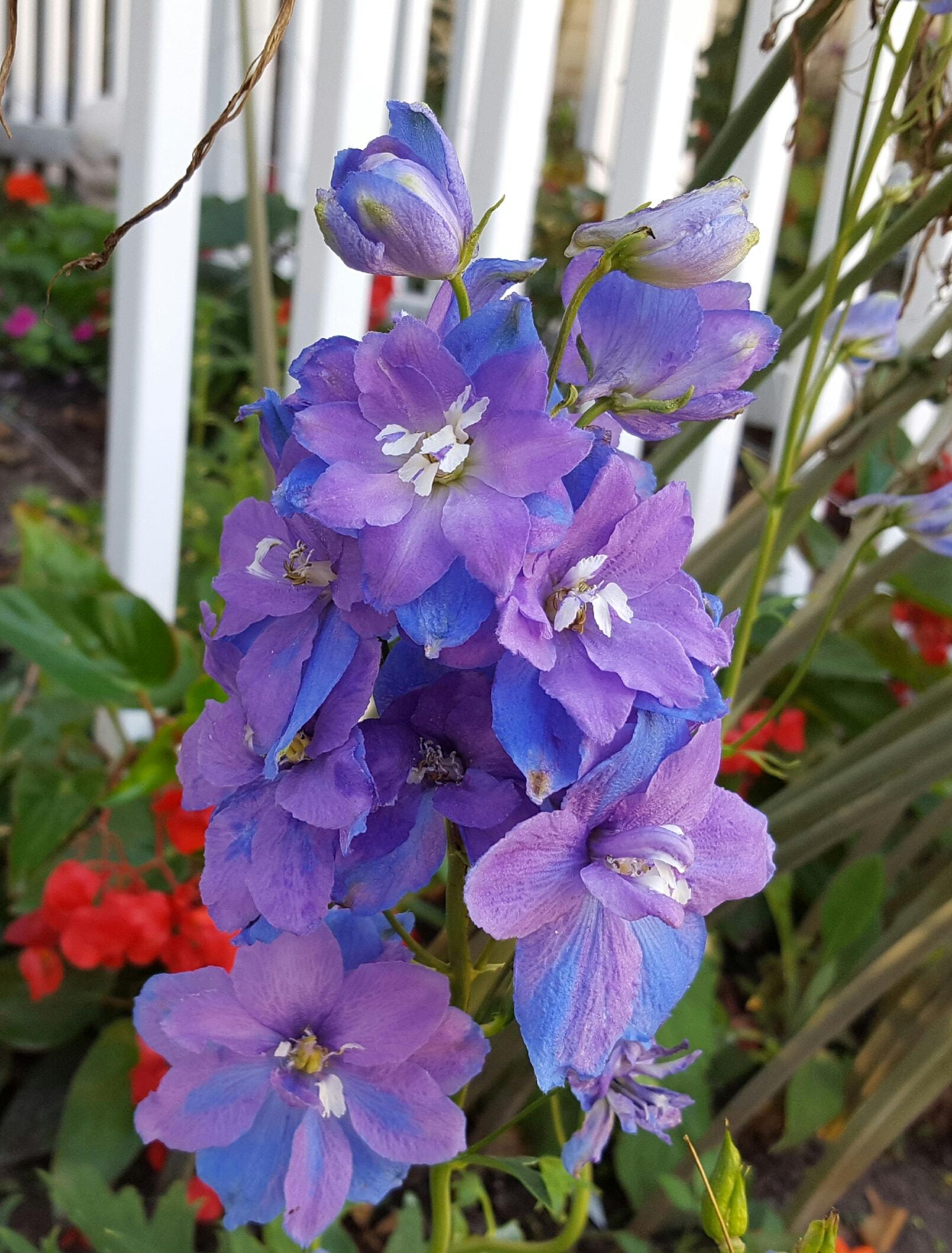 Purple/blue delphinium