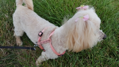 Maltese poodle with pink bows