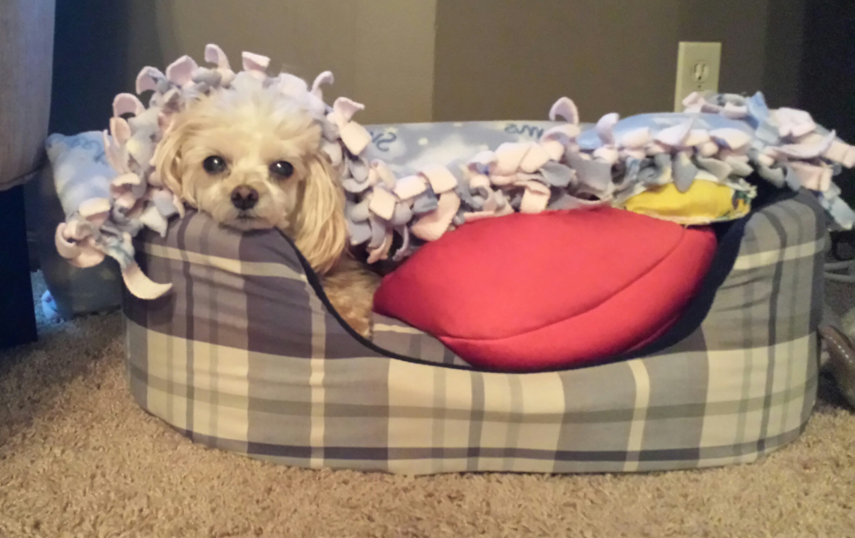 Maltese poodle princess