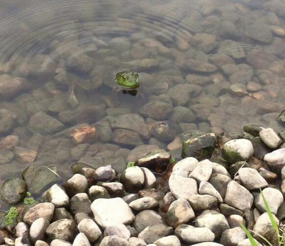 Frog head in water