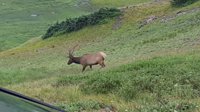Bull elk on Old Fall River Road