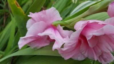 Beautiful pink summer flower