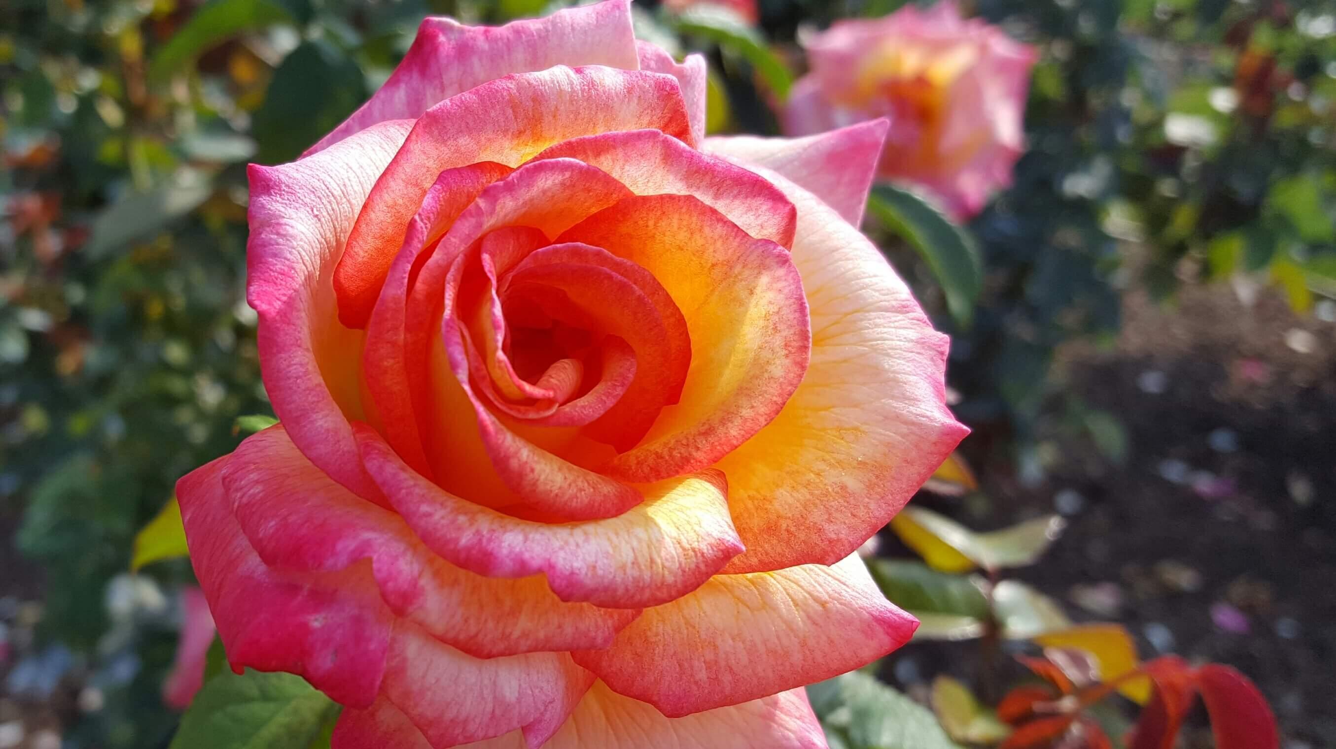 Rose at Lauritzen Gardens