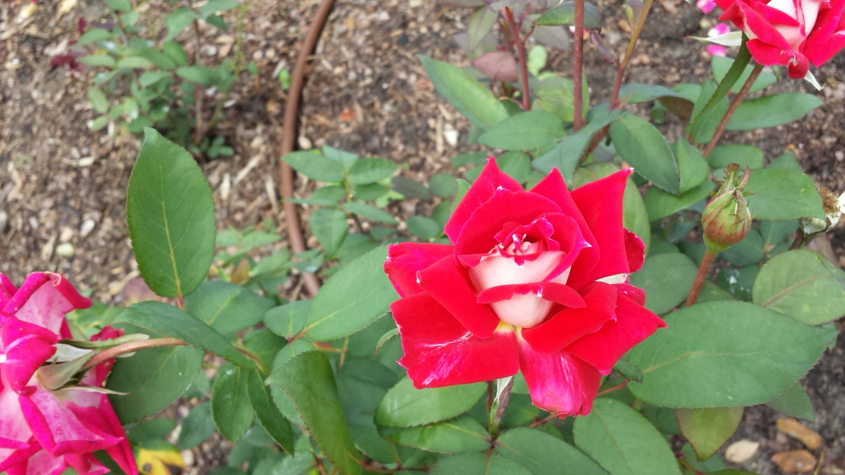 Striking red-with-white-middle rose