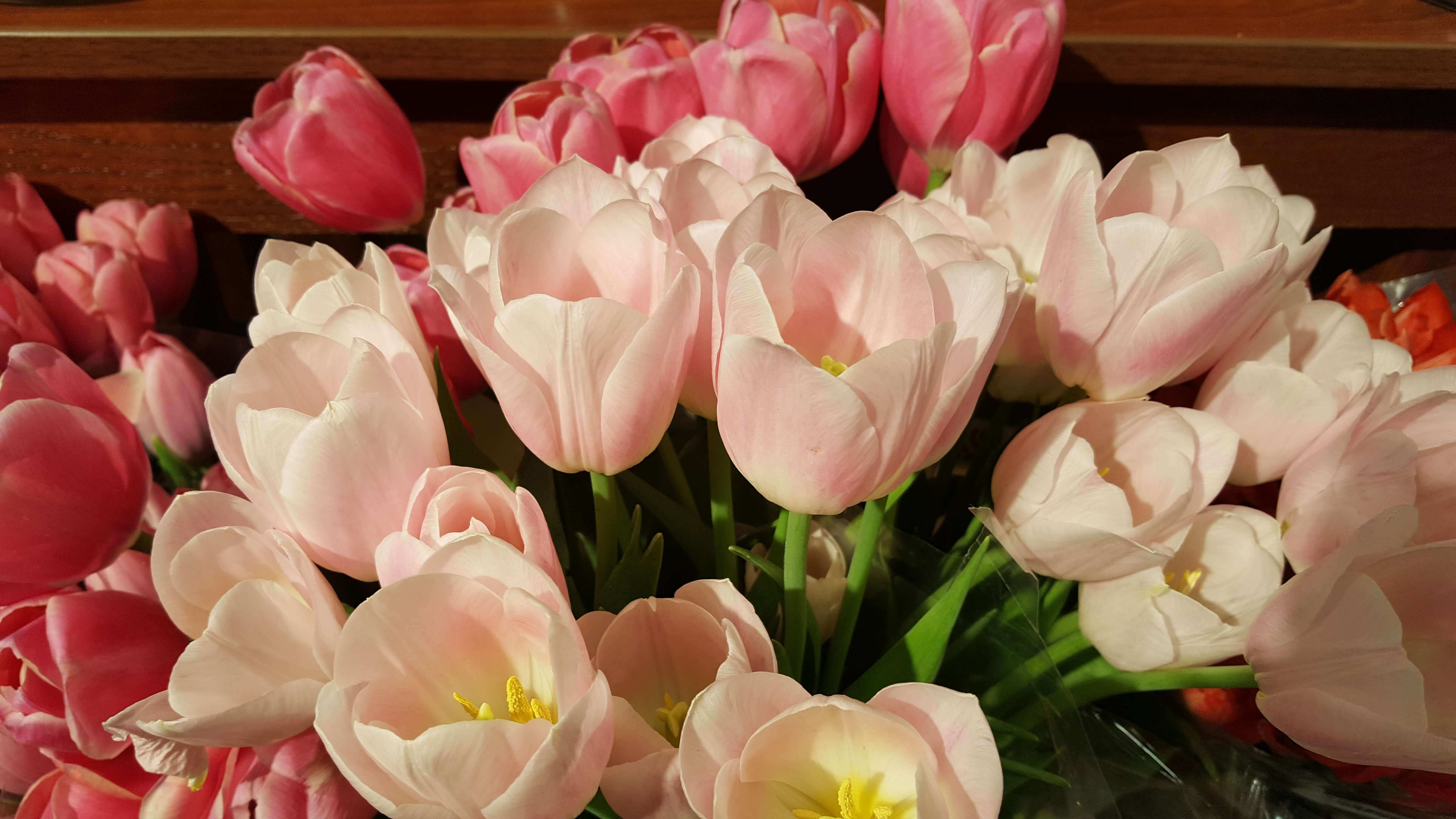 Pink blushing tulips with pink tulips