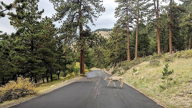 Deer in Rocky Mountain Nat'l Park