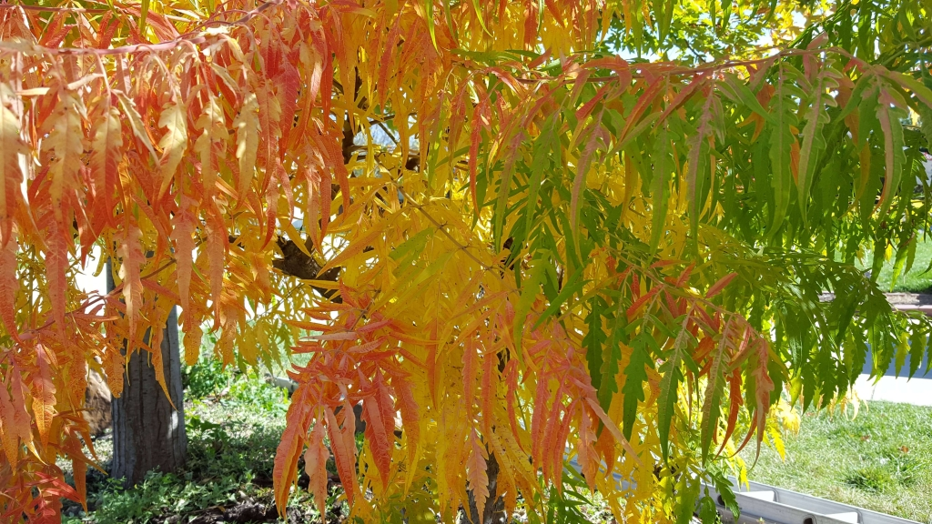 The colors of fall on Sumac tree