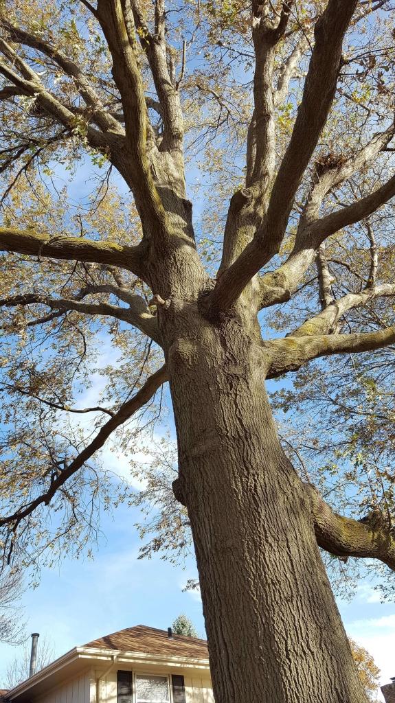 Awesome Oak tree in fall