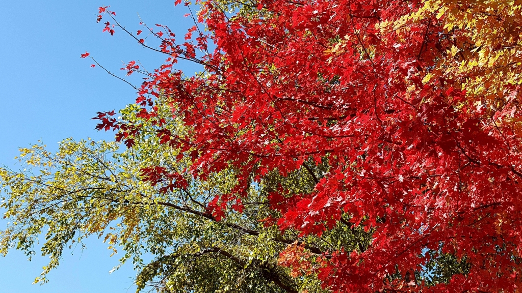 Vibrant red Maple