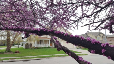 An awesome old Redbud tree