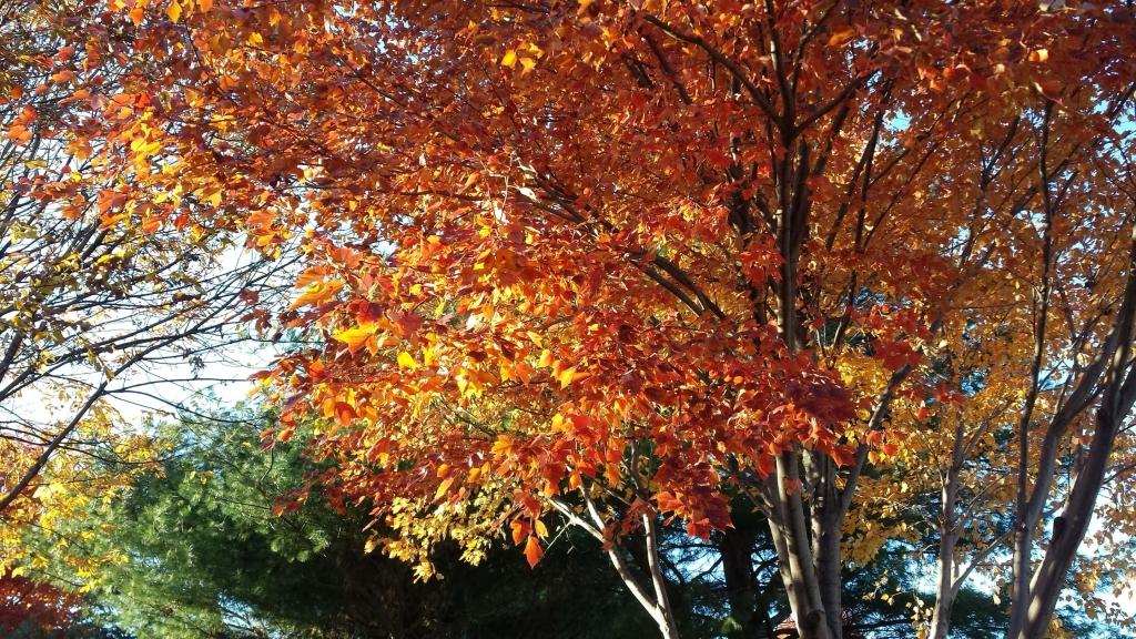 Sunset Maple tree