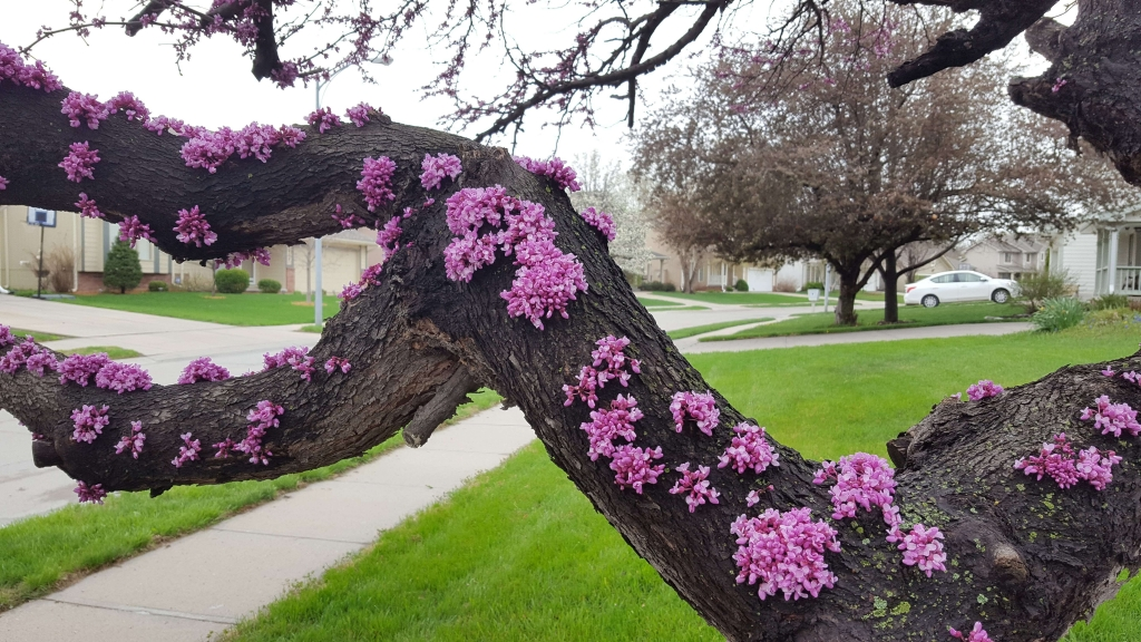 A spectacular mature Redbud tree