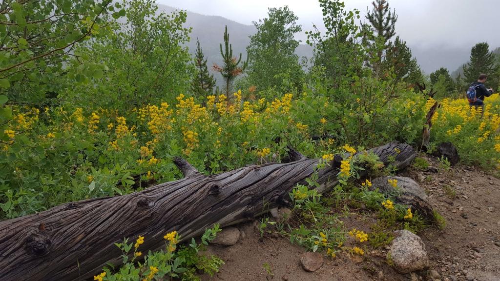 Field of Western wallflowers