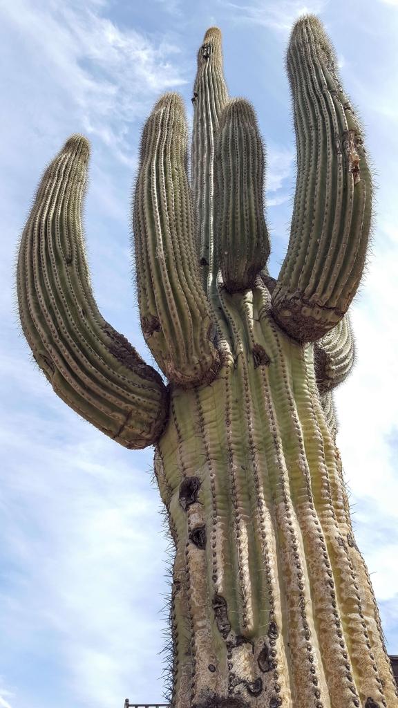 Towering saguaro