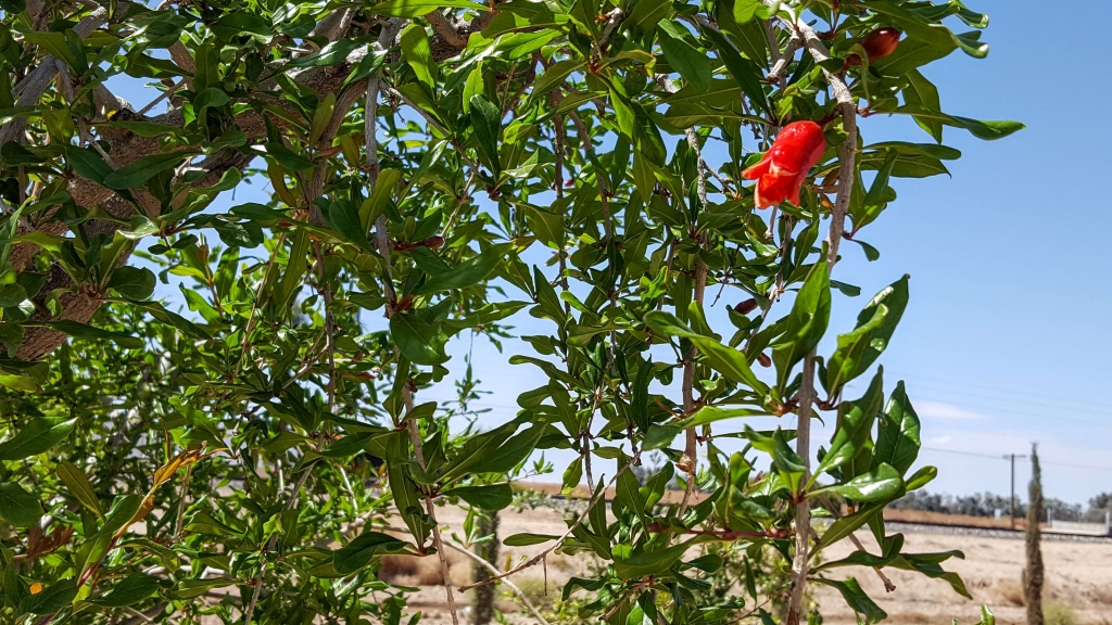 Pomegranate tree at Queen Creek Olive Mill
