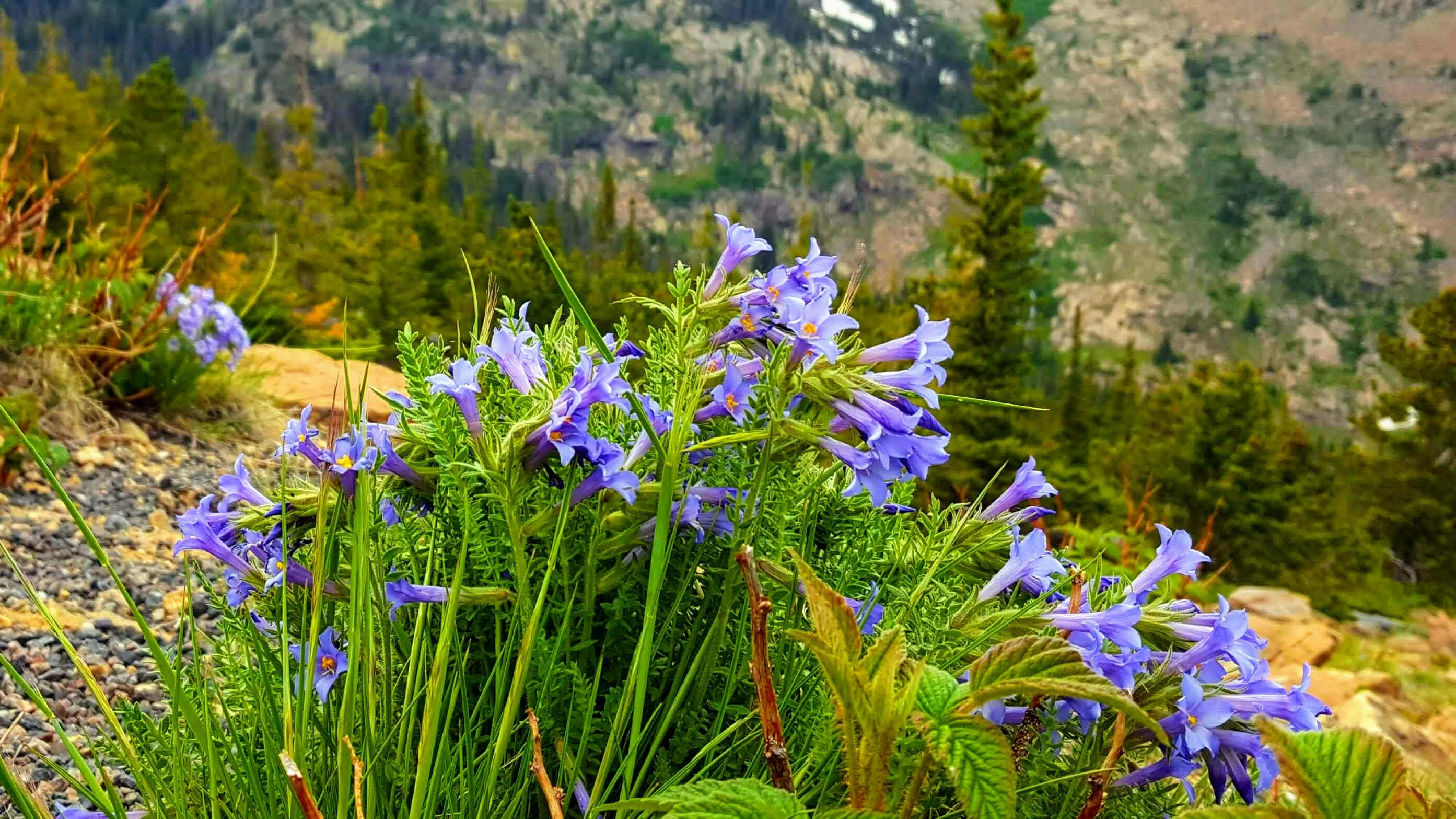 Wildflowers in RMNP