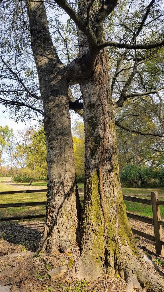 A unique tree at the Hermitage, Nashville, TN